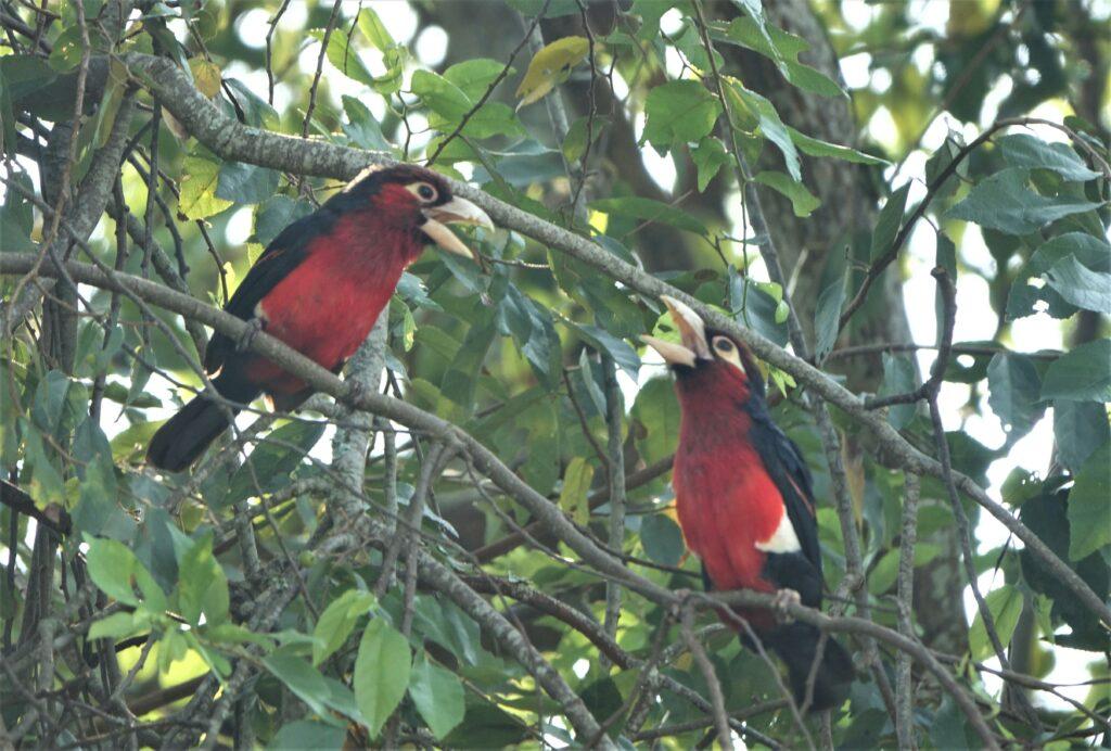 Tandbaardvogel, Oeganda