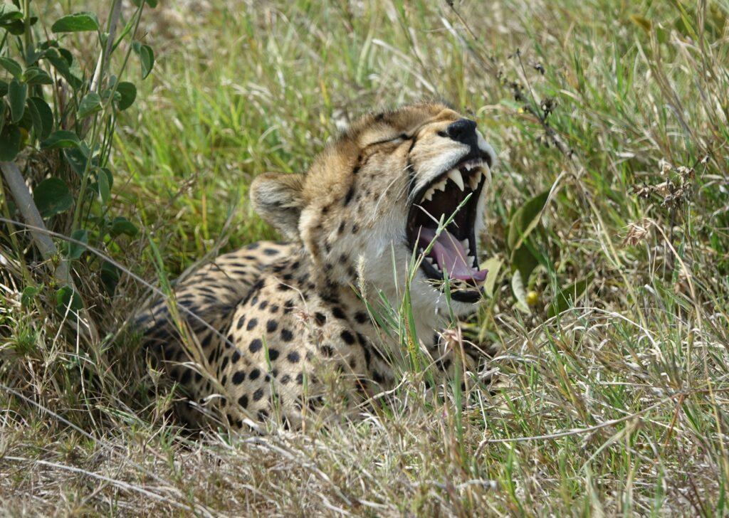 jachtluipaard Tanzania