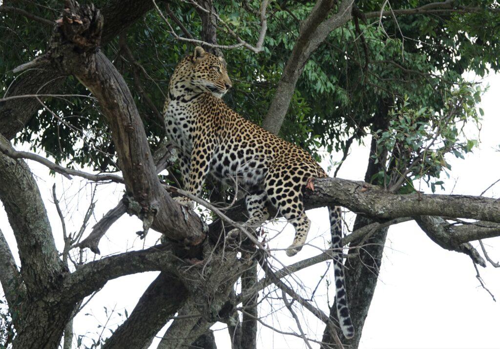 luipaard in boom Tanzania