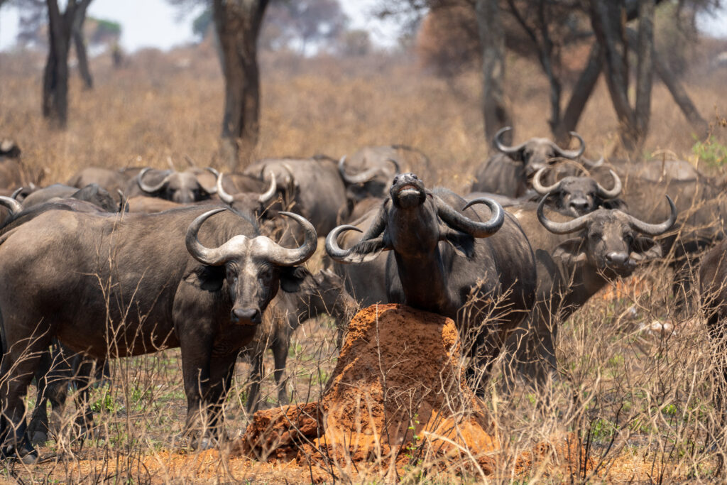 buffels Tanzania