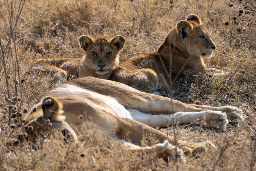 leeuwen Tanzania