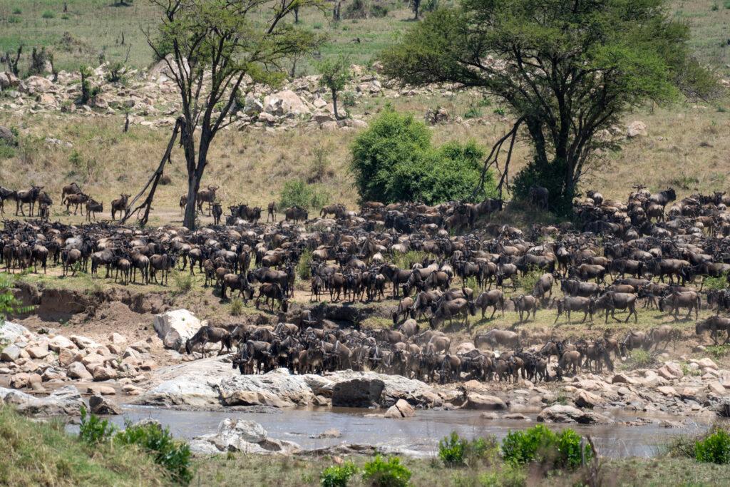 de oversteek aan de Mara Rivier, Tanzania