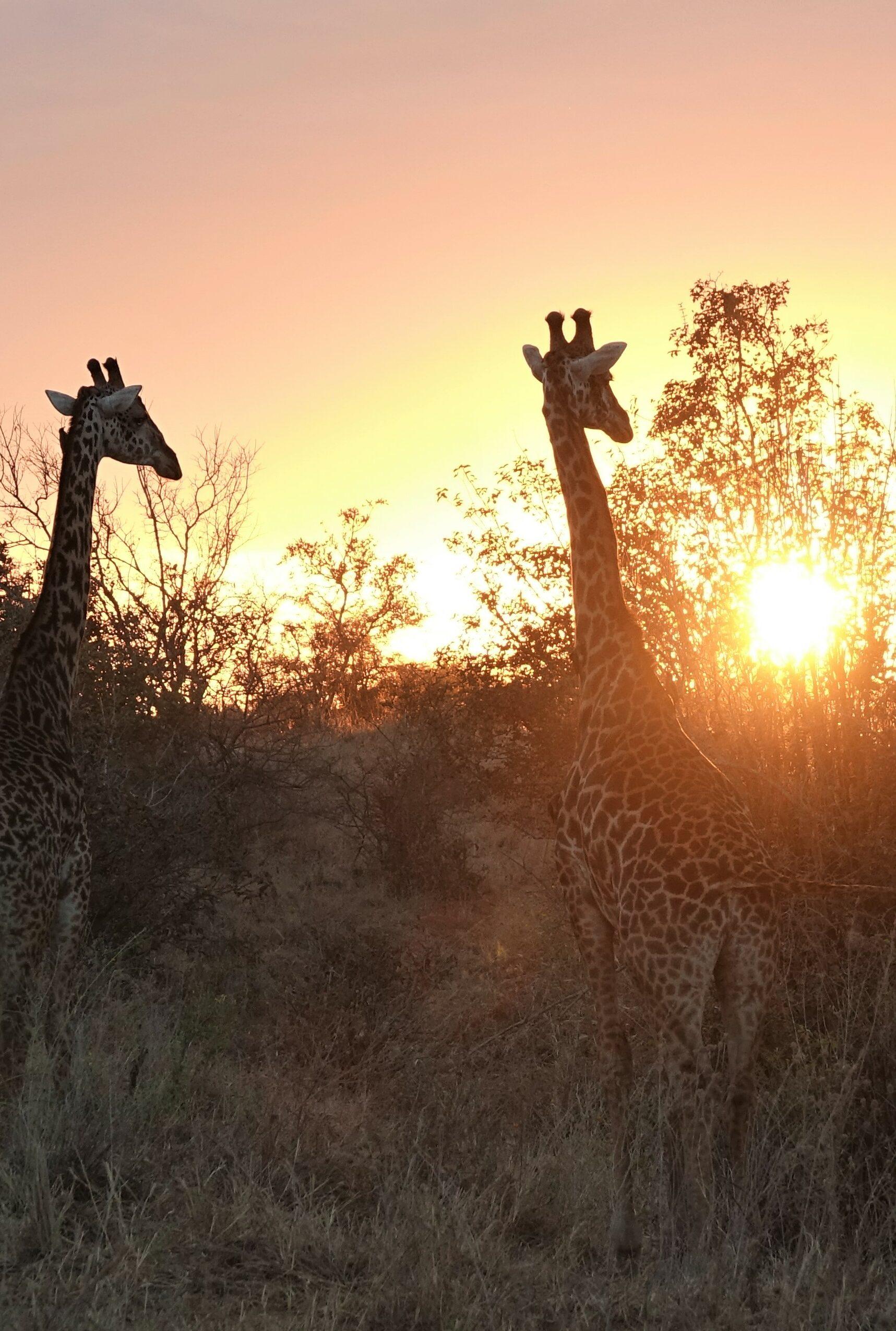 giraf in Tarangire National Park, Tanzania